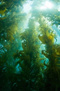 kelp-forest[1]