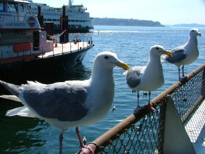 seattle_seagulls[1]