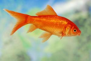 130952-847x567r1-Ordinary-goldfish[1]