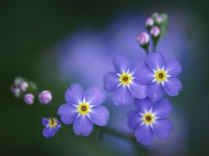 Forget-Me-Not-[1]